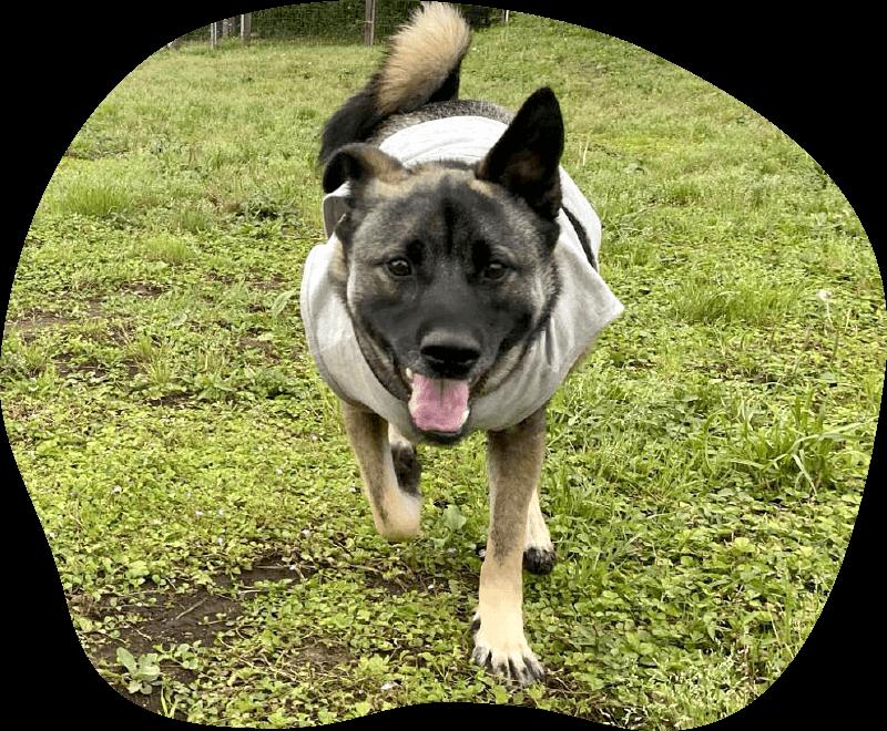 ぷりん|アンケート|茨城県つくば市の犬のしつけ・訓練・トレーニングなら「ドッグスクール山口」