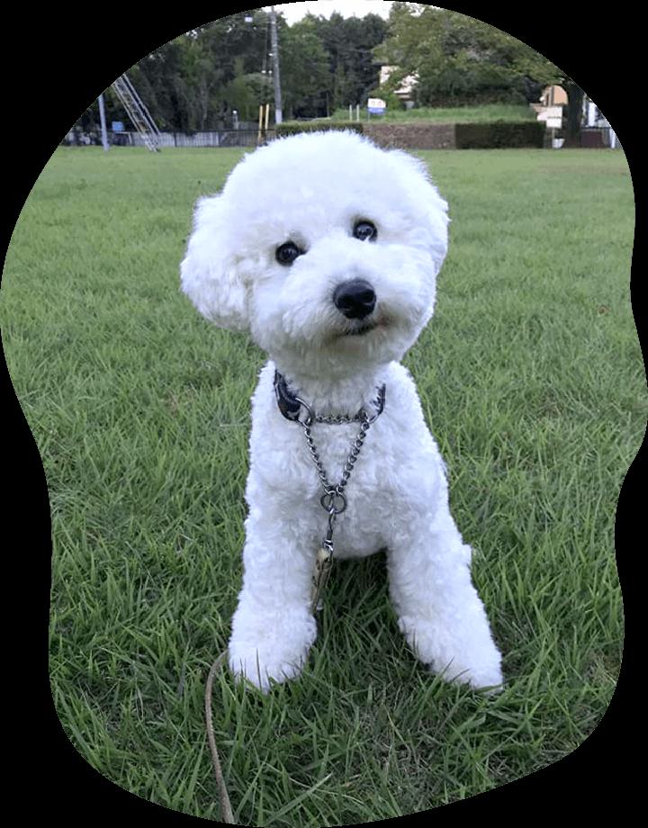 シロ|アンケート|茨城県つくば市の犬のしつけ・訓練・トレーニングなら「ドッグスクール山口」